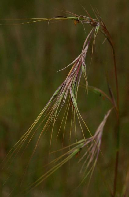 Yellow thatching grass (Hyperthelia dissoluta), seed-head, Zimbabwe