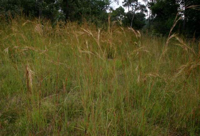 Yellow thatching grass (Hyperthelia dissoluta), habit, Zimbabwe