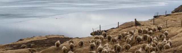 Sheep herd in Iceland