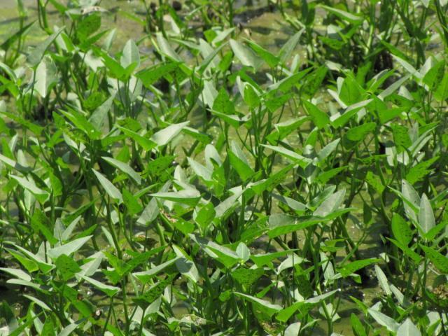 Water spinash, North Vietnam