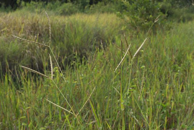 Centipede grass (Ischaemum timorense)