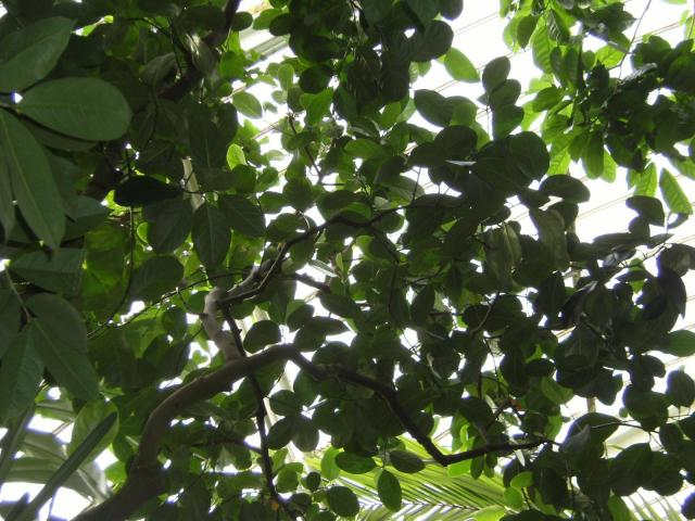 Jackfruit (Artocarpus heterophyllus), leaves, Kew Gardens, London