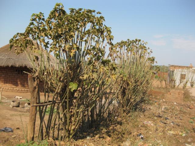 Jatropha (Jatropha curcas) live fence, Mozambique
