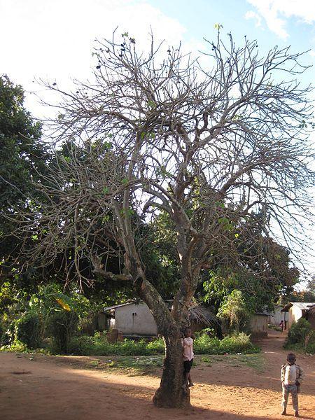 Jatropha (Jatropha curcas), old tree shedding its leaves, Mozambique