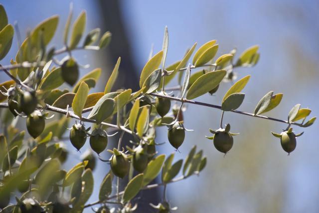 Jojoba (Simmondsia chinensis), foliage and fruits