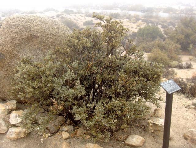 Jojoba (Simmondsia chinensis), habit