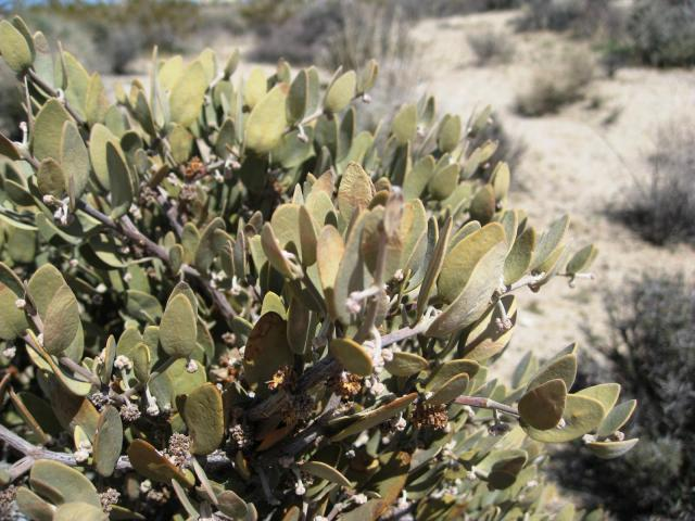 Jojoba (Simmondsia chinensis), leaves, USA