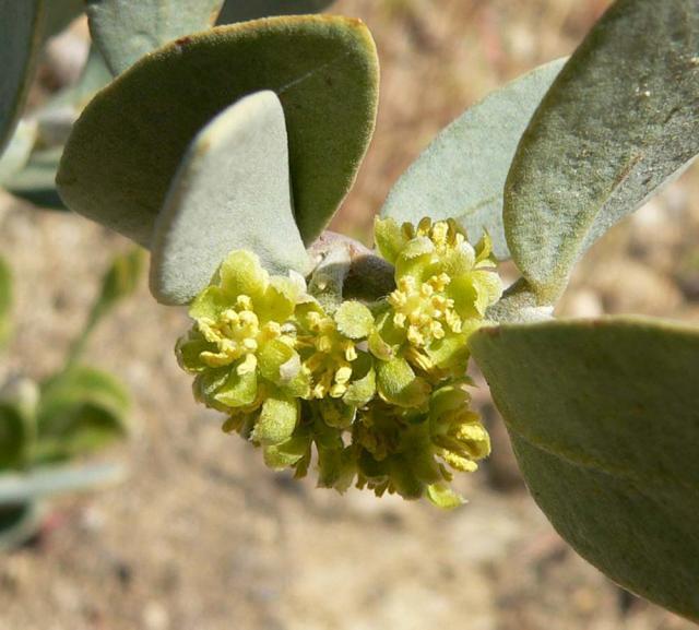 Jojoba (Simmondsia chinensis), male flower, California, USA