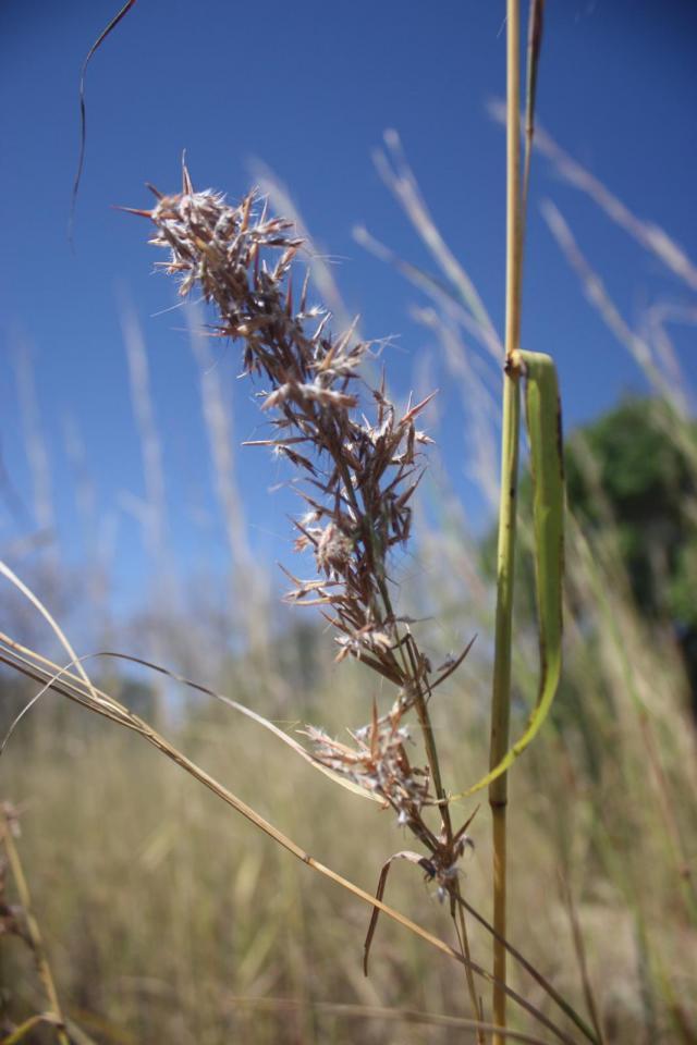 Kachi grass (Cymbopogon giganteus), inflorescence