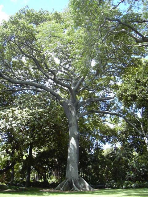 Kapok tree in Honolulu, Hawaï