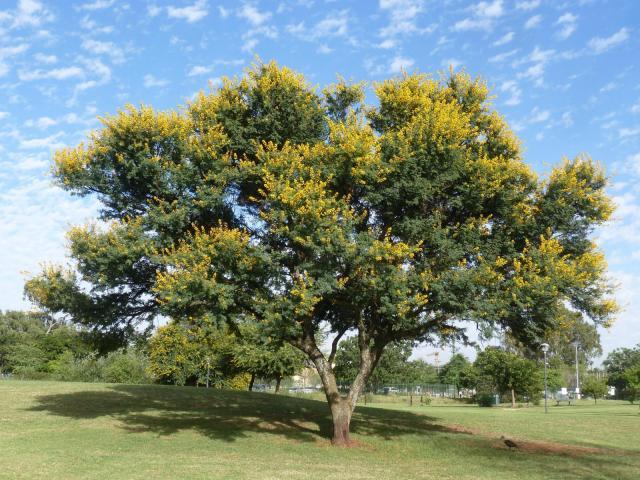 Sweet thorn (Acacia karroo) habit, blooming