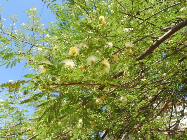 Albizia (Albizia amara), foliage and flowers