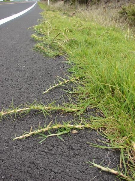 Kikuyu (Pennisetum clandestinum), runners, Hawaii