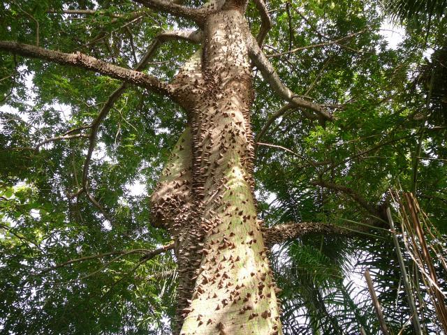 Kapok tree covered with spines