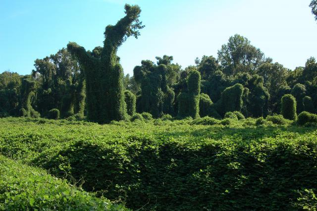 Kudzu kills trees by shading them and spreads inexorably