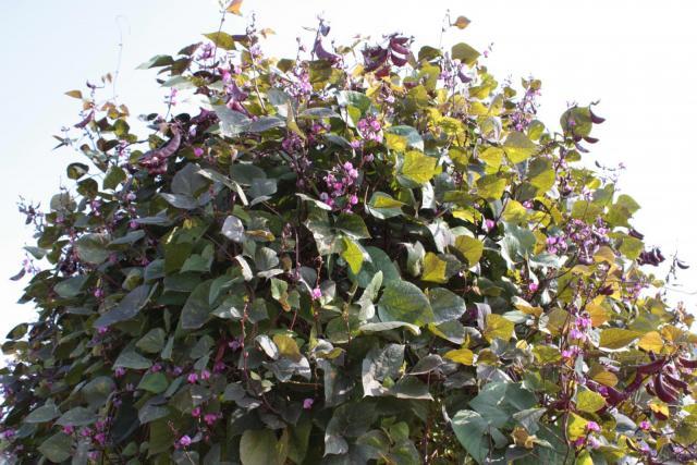 Lablab purpureus foliage