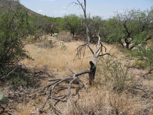 Lehmann love grass (Eragrostis lehmanniana)