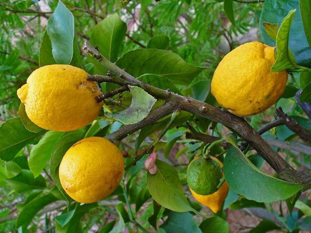 Lemon (Citrus x limon), fruits