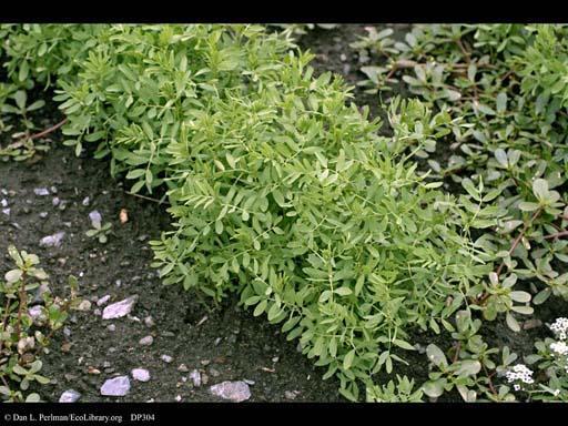 Lentil (Lens culinaris), plant habit