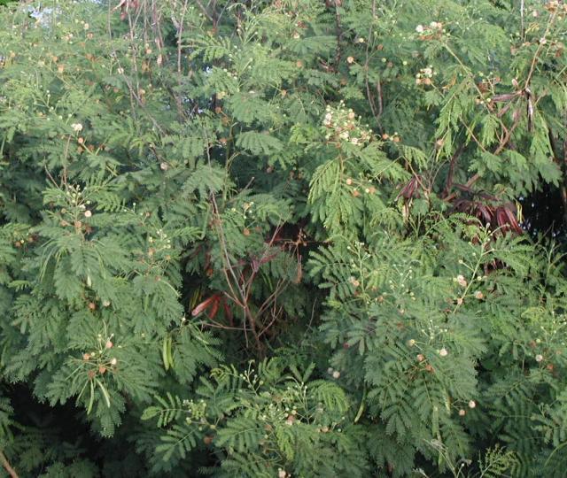Leucaena leucocephala, Mayotte