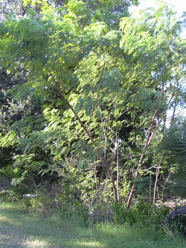 Leucaena leucocephala, Florida