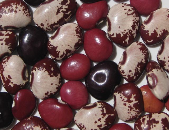 Lima bean (Phaseolus lunatus), variability in seeds