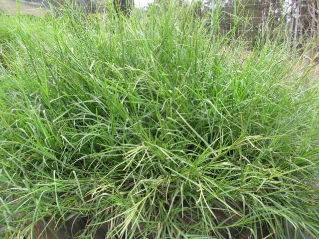 Limpo grass (Hemarthria altissima), habit, Hawaii