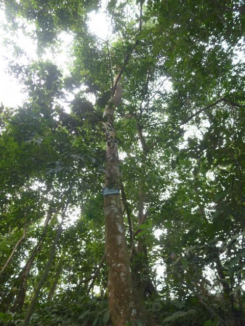 Indian laurel (Litsea glutinosa)
