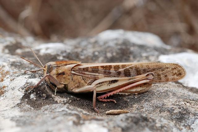 Migratory locust Locusta migratoria
