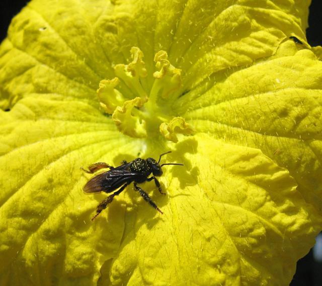 Luffa (Luffa aegyptiaca), flower pollination, Campinas, Brazil