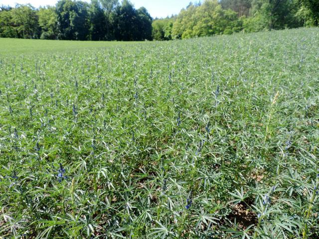Blue lupin (Lupinus angustifolius) crop