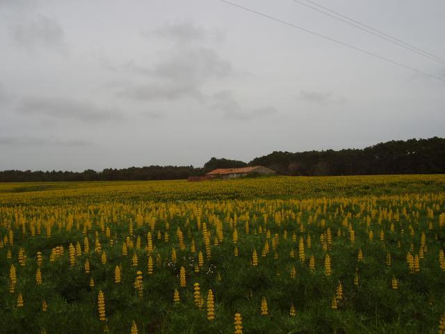 Yellow lupin (Lupinus luteus) field
