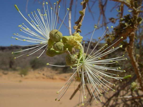 Atil (Maerua crassifolia Forssk.) flower, Sahara, Mauritania