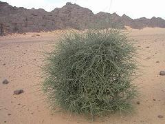 Atil (Maerua crassifolia Forssk.) shrub, Sahara, Mauritania