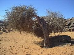 Atil (Maerua crassifolia Forssk.) tree, Sahara, Mauritania
