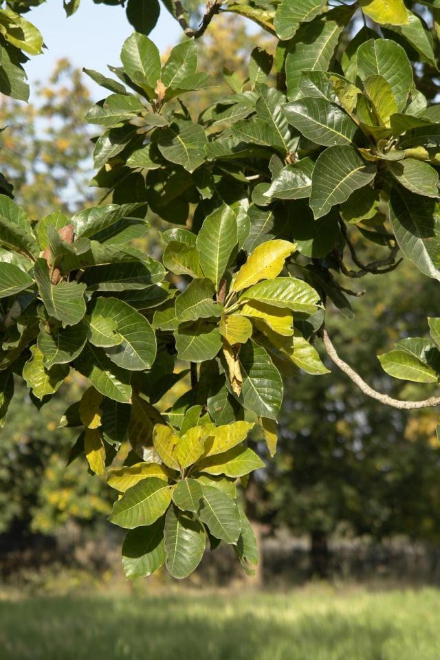 Mahua (Madhuca longifolia), foliage