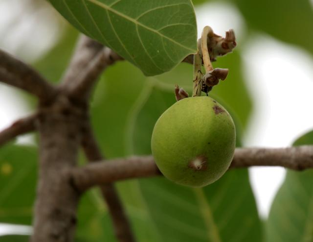 Mahua (Madhuca longifolia), fruit