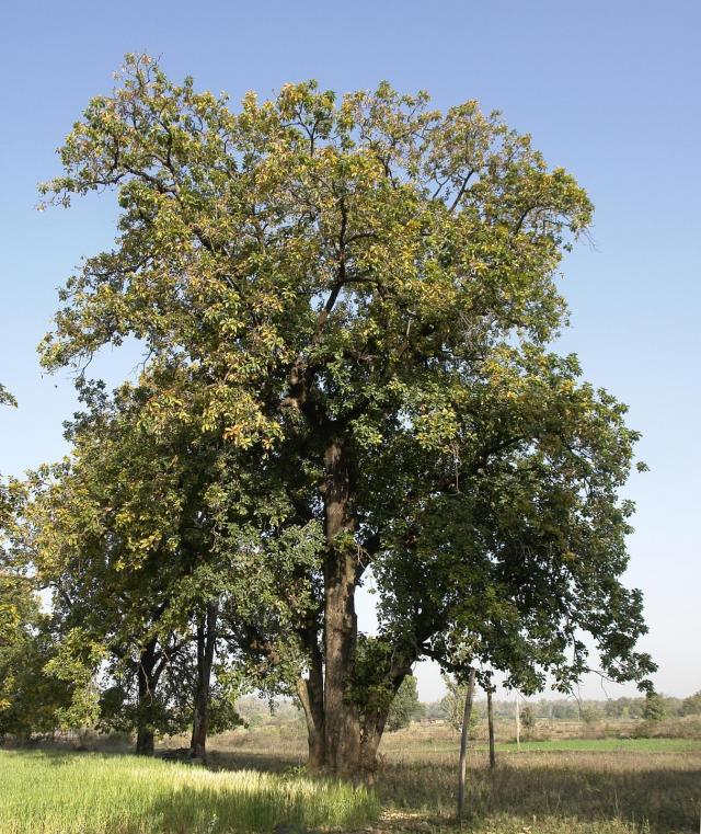Mahua (Madhuca longifolia), tree