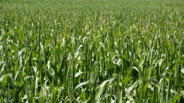 Maize field, Germany