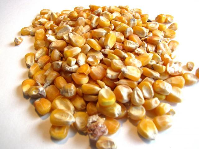 Maize grain, France