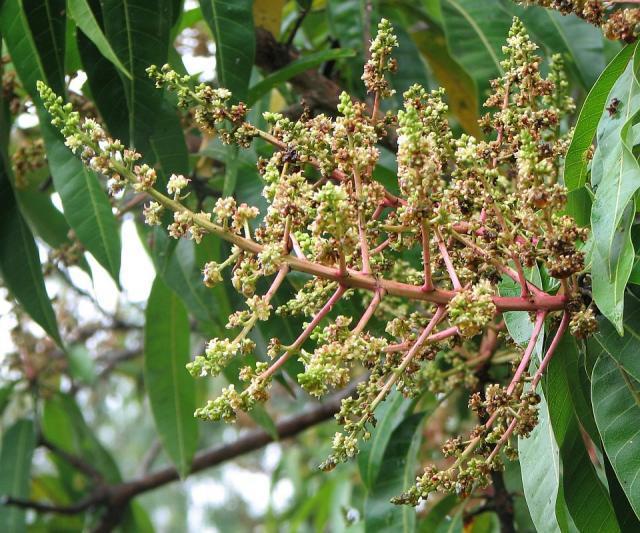 Mango (Mangifera indica) inflorescence
