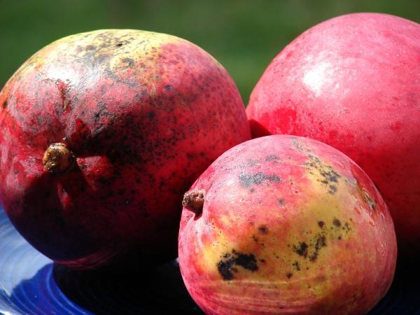 Mango fruit, Hawaii
