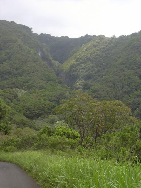 Manicoba or ceara rubber tree (Manihot glaziovii)