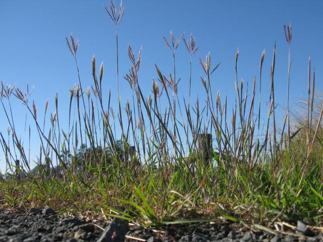 Marvel grass (Dichanthium annulatum)