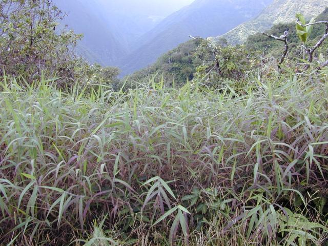 Melinis minutiflora habit, Hawaii