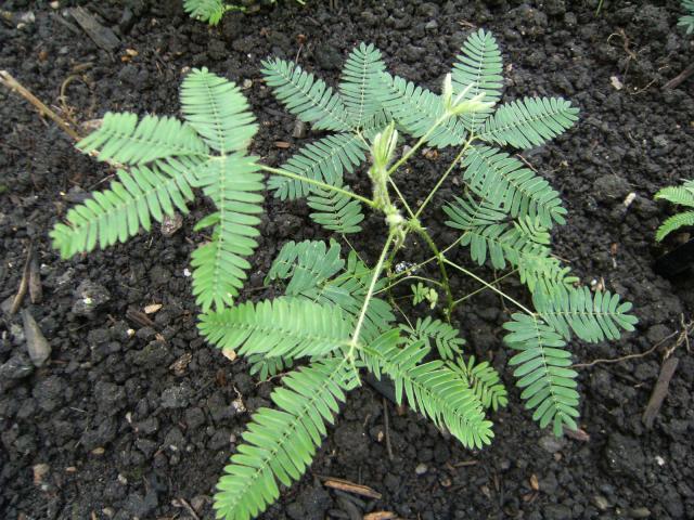 Sensitive (Mimosa pudica), habit, Kew Gardens, London