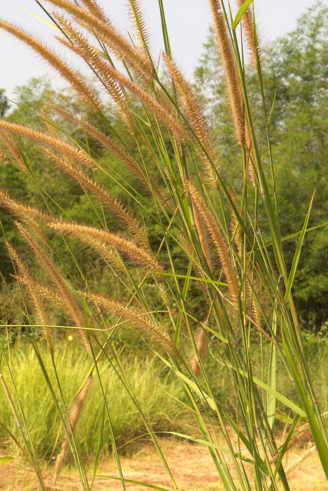 Mission grass (Pennisetum polystachion), Thailand