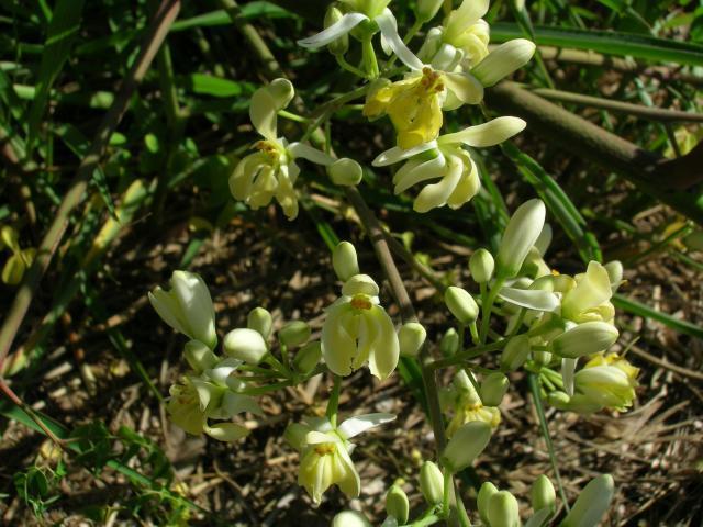 Moringa (Moringa oleifera) flowers