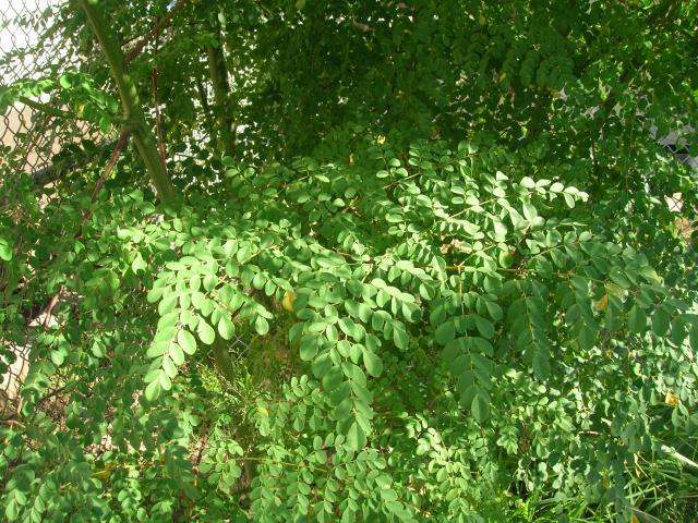 Moringa (Moringa oleifera) leaves