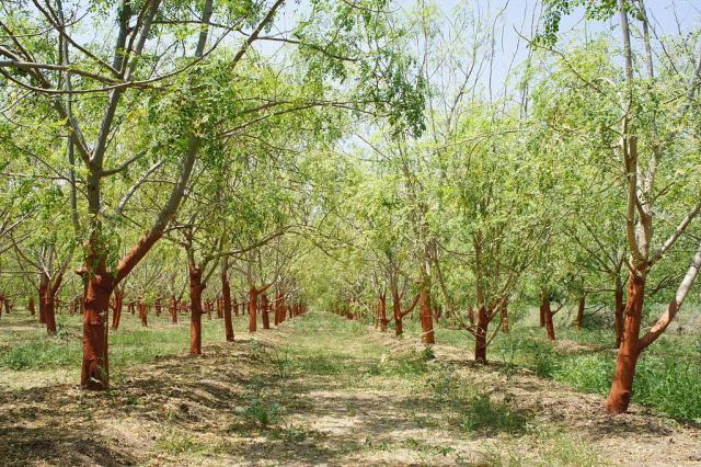 Moringa (Moringa oleifera) plantation